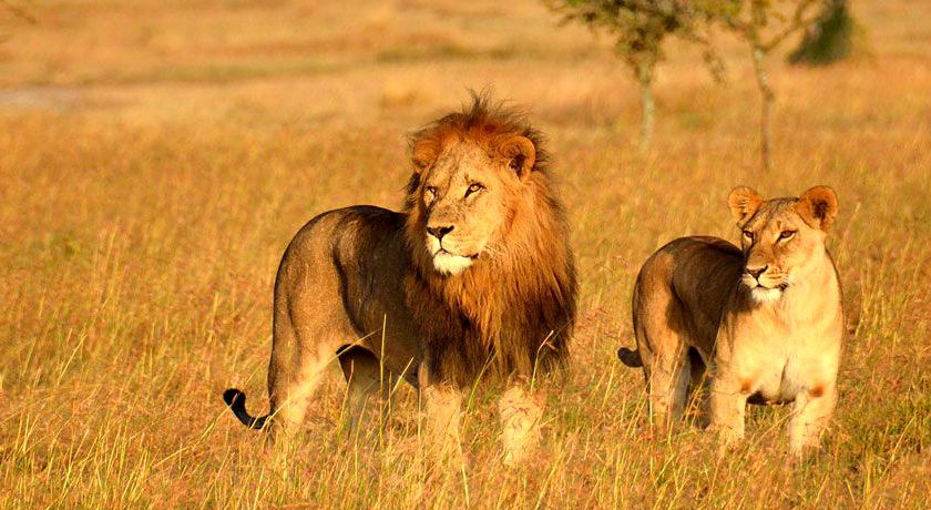 Gir National Park is Sole Habitat of Lions in Asia, Know Complete ...